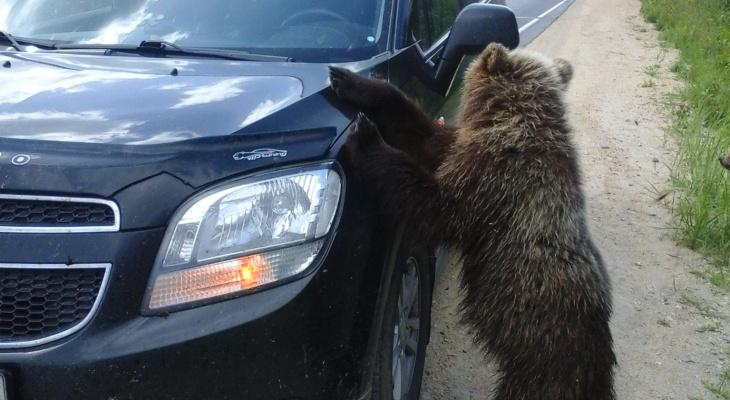 В Мордовии медведи подбираются к людям