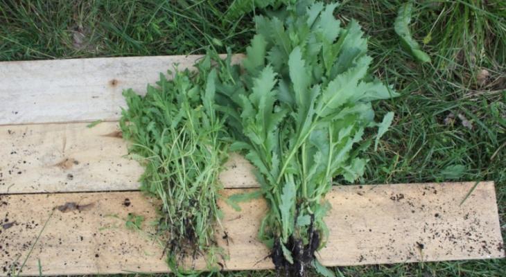 В Мордовии уроженец Тольятти выращивал мак на огороде сожительницы