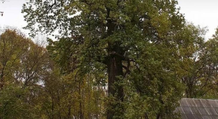 Старейший дуб Мордовии участвует в голосовании на звание «Российское дерево года»