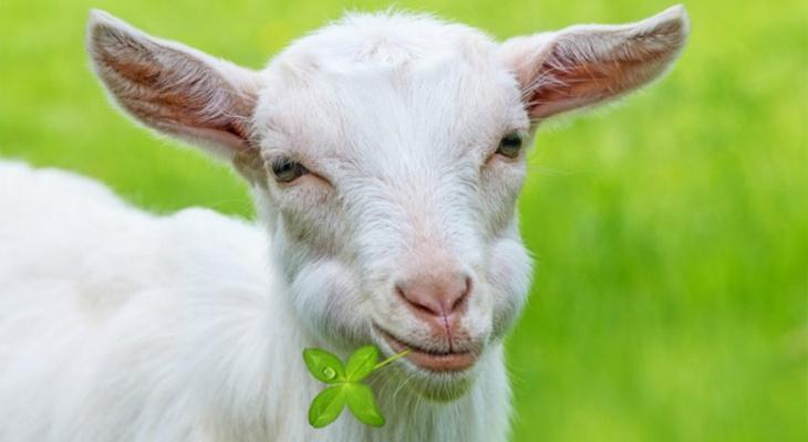 В Ардатовском районе задержали троих местных жителей, подозреваемых в краже белой козы