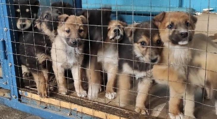 В саранском приюте начали массово заболевать щенки