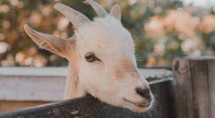 Трое жителей Мордовии украли у старушки козу, чтобы продать мясо и купить выпить